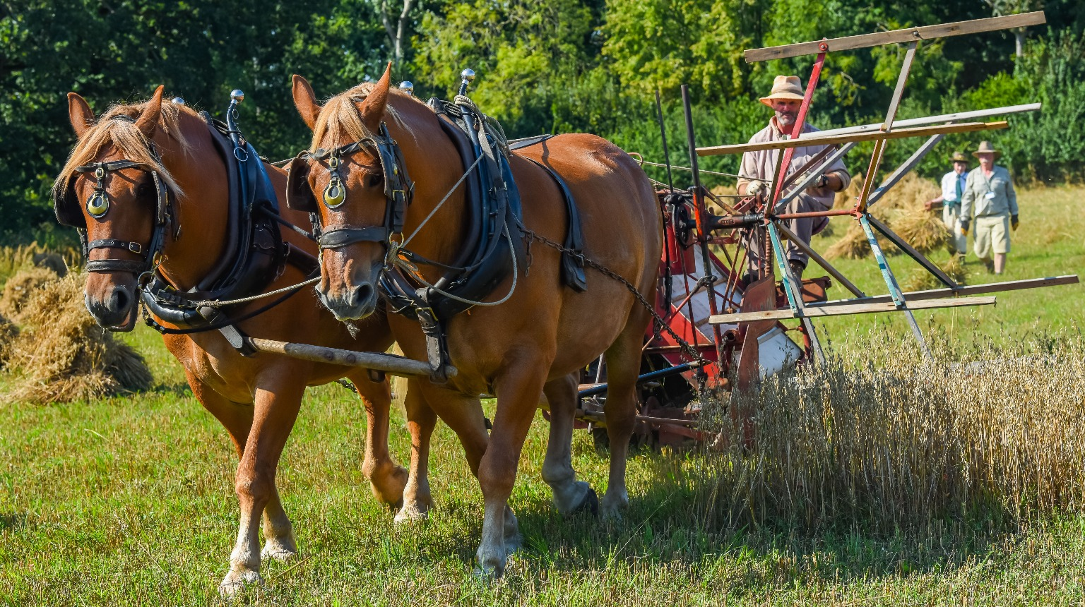 Gressenhall Farm & Workhouse, Suffolk Punches and Albion Reaper